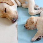 旅行中 犬に留守番させるのはかわいそう?ストレスでパニックにならないように慣れるまで練習!