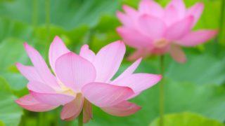 浄土真宗のお盆の過ごし方 仏壇の飾り方やお供えはどうする?