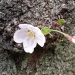 墨田公園の桜 開花見ごろ時期は?混雑状況と撮影スポットもご紹介