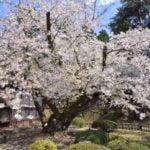 弘前公園の桜見ごろ時期と撮影スポット ハートの場所はどこにある?